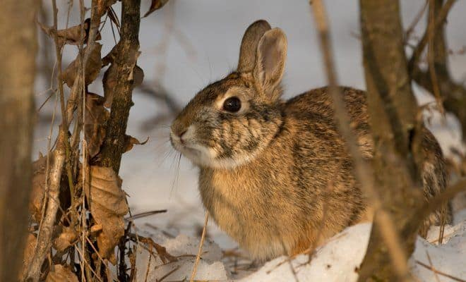 Защитим зимний сад от зайцев