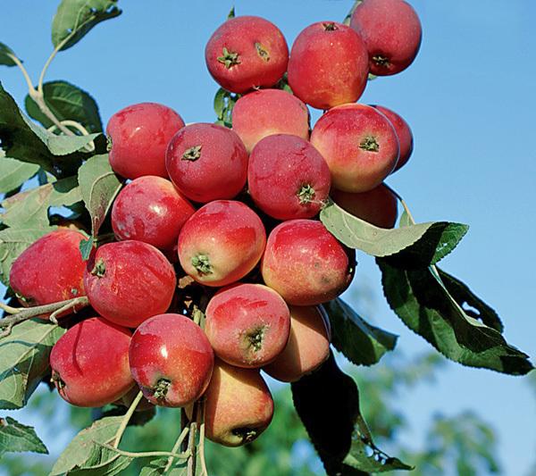 Морозоустойчивые сорта яблонь для Сибири