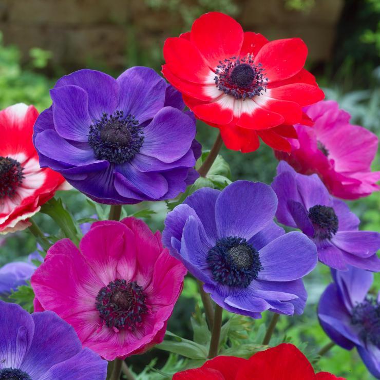 Анемона корончатая - чудо из «камушка», Цветок-совершенство