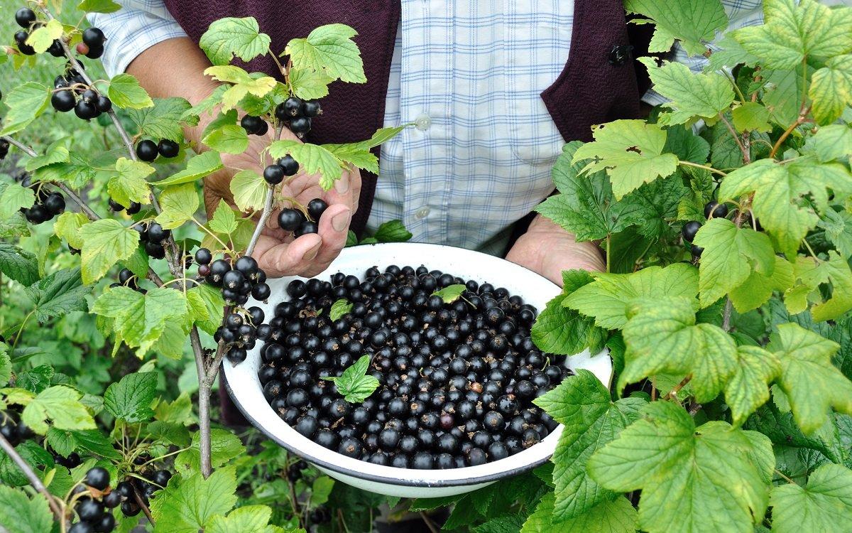 Как очистки до супер-урожая смородины довели