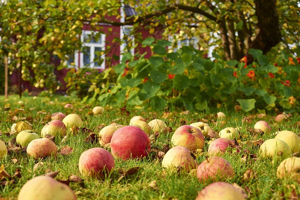 Чтобы яблок уродилось больше