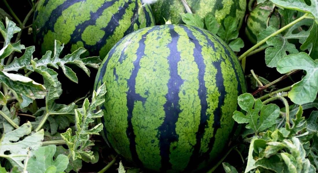 Выращивание арбузов: важно учесть все нюансы