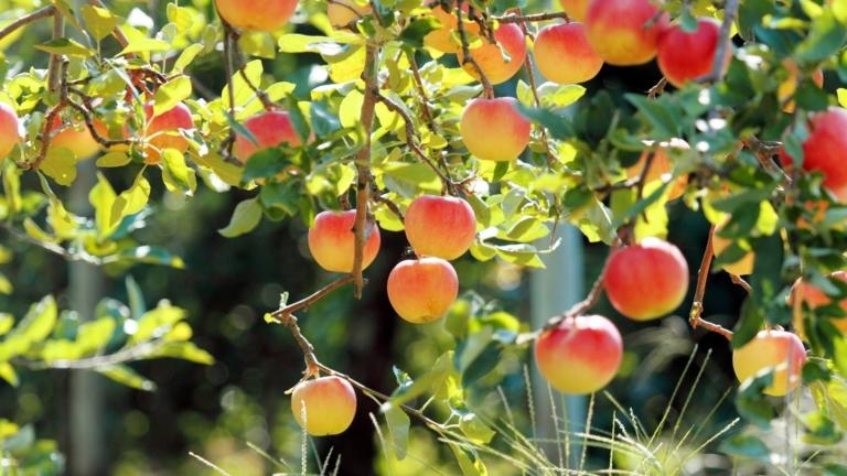 Неуязвимый плодовый сад