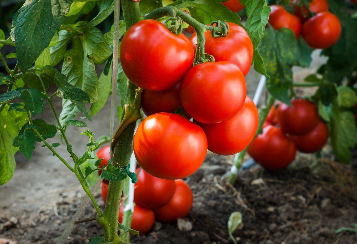 Безрассадный метод выращивания томатов