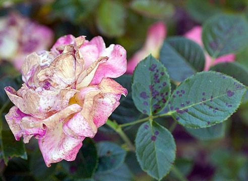 Что болит у розы?