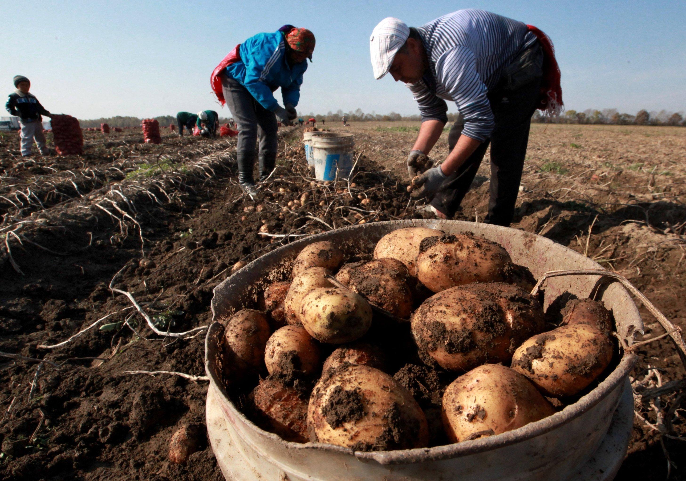 Чистота - залог здоровья картошки