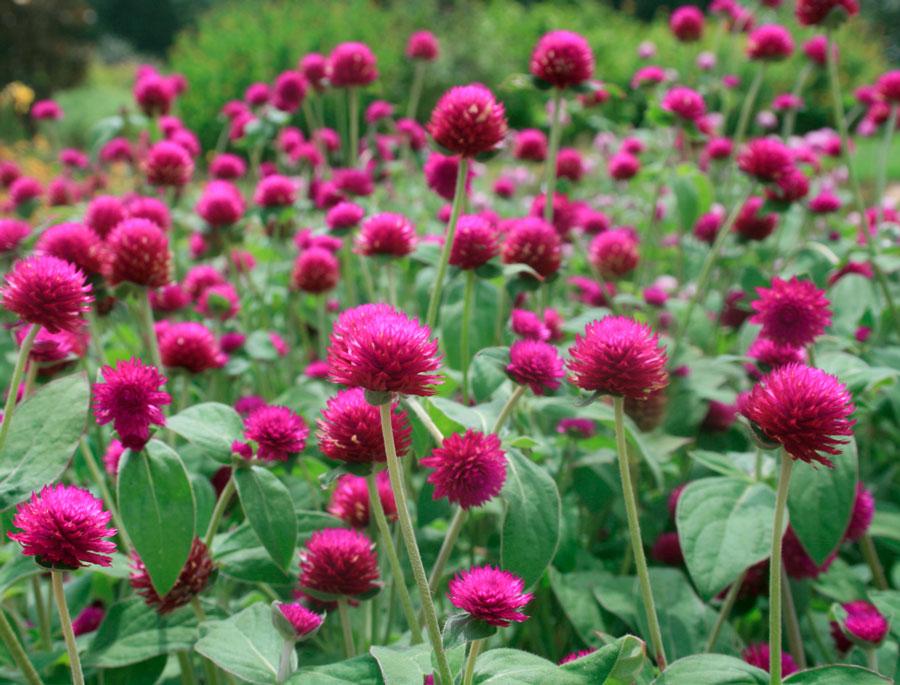 Гомфрена шаровидная - цветок бессмертия и постоянства
