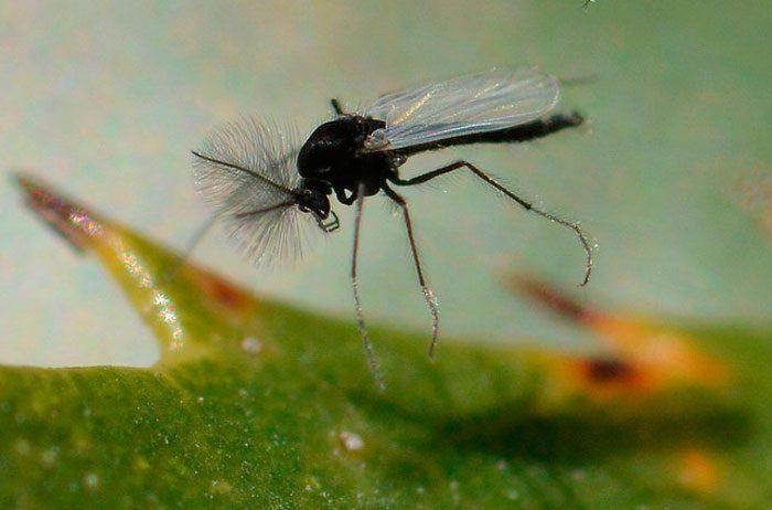 Как избавится от цветочных мошек