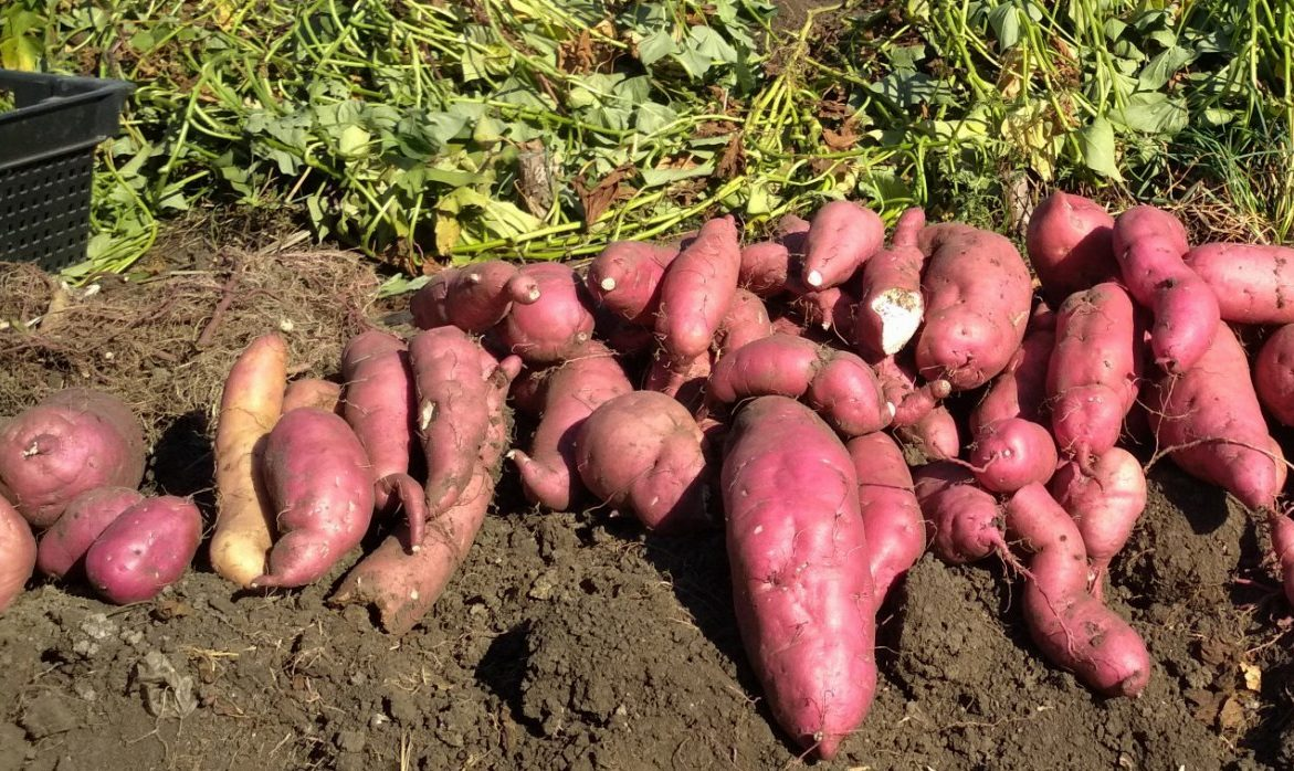 Батат - картошке брат. Все о выращивании батата