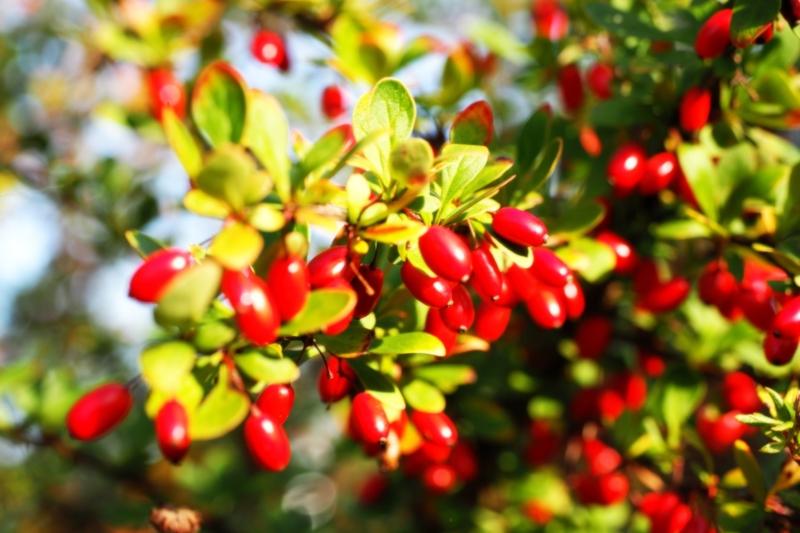 Как правильно ухаживать за садовым кизилом