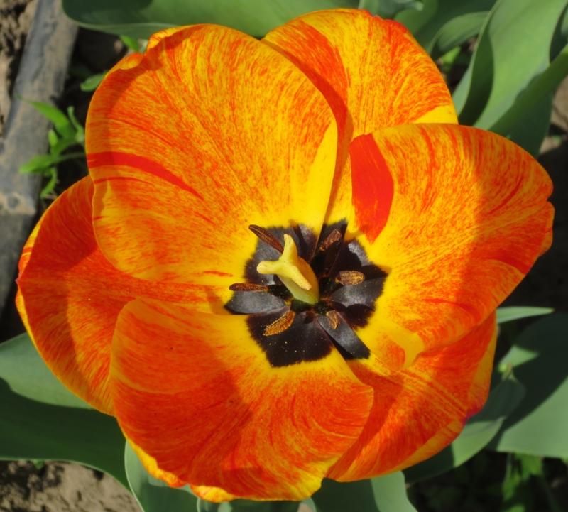 Пестролепестность на тюльпанах: неизлечимый вирус