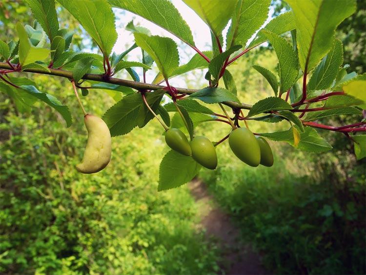 Что случилось с плодами сливы?