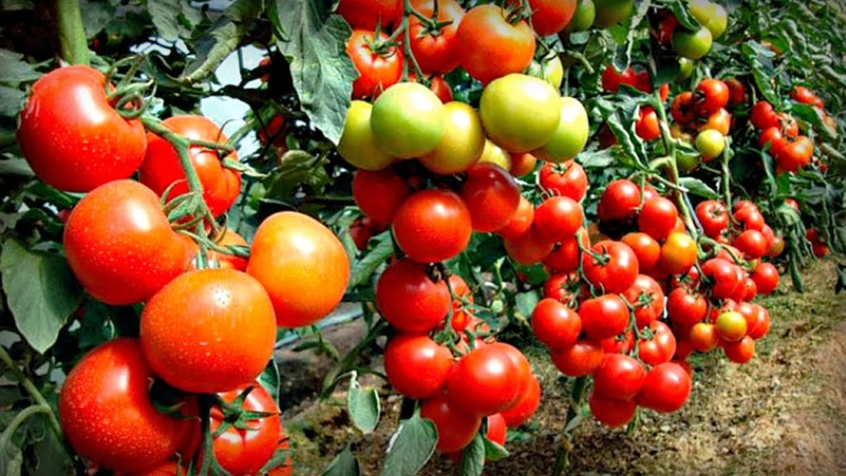 Собрал 2 тонны томатов с участка