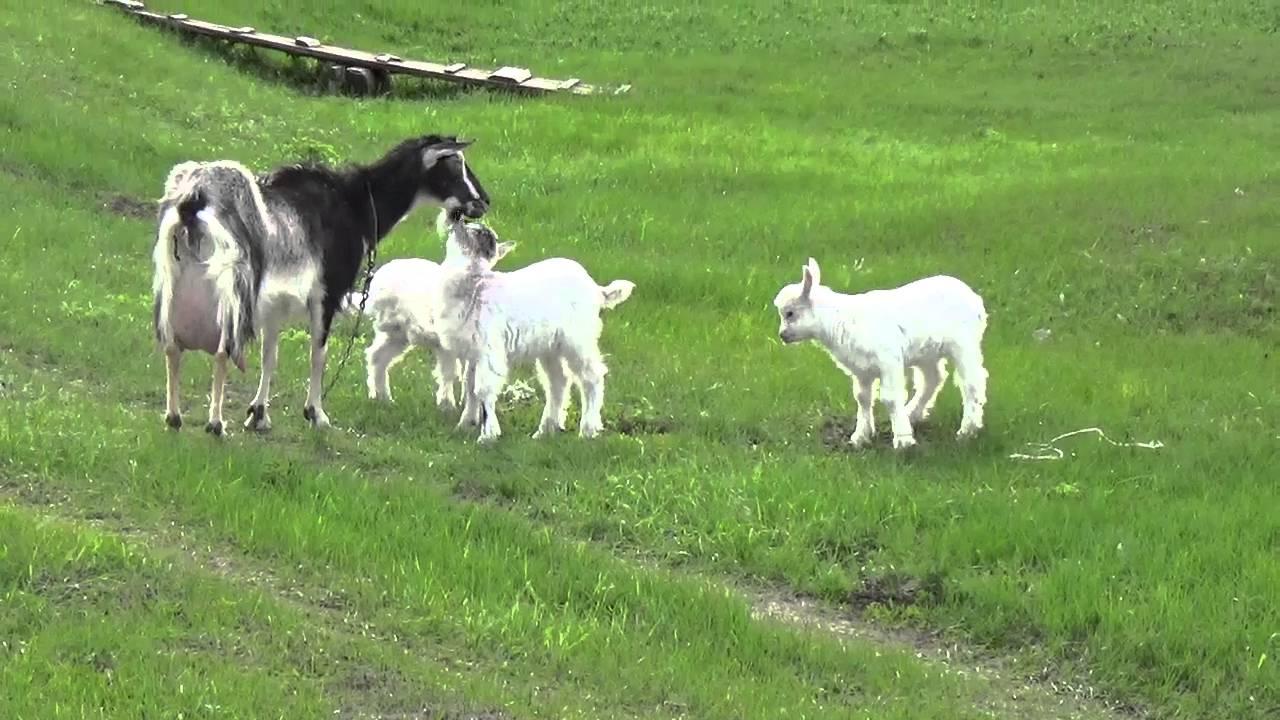 Мои любимицы - козы