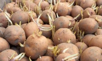 «Рогатый» картофель урожайнее