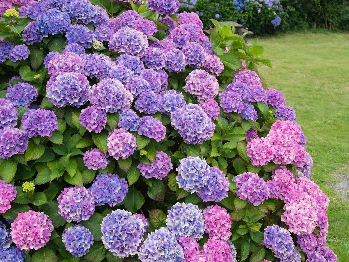 Гортензия в саду цветет