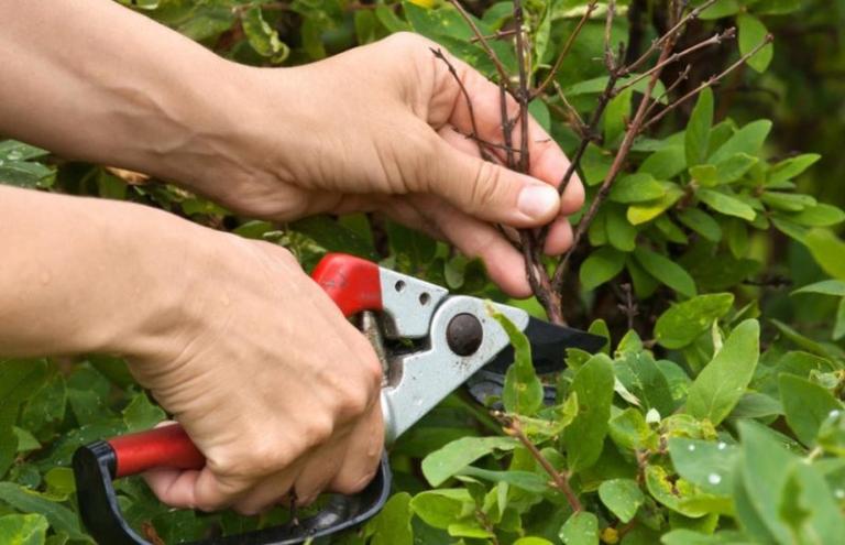 Зачем летом обрезать ягодники