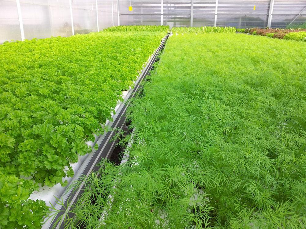 Разбираемся в агротехнике выращивания зелени
