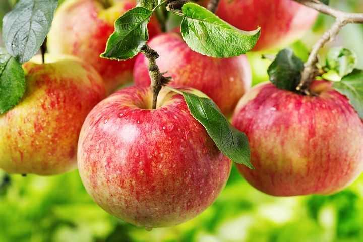 Можно ли прыскать фунгицид на яблоки?
