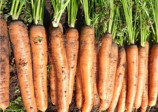 Нашли любимый сорт моркови