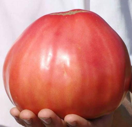 Увеличил вес томатов до 700 грамм