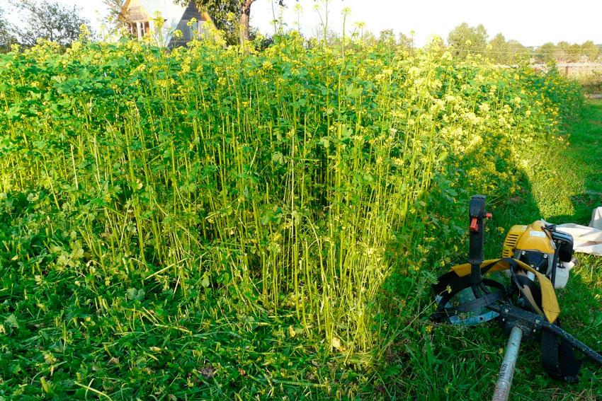 Весенний сидерат богаче осеннего