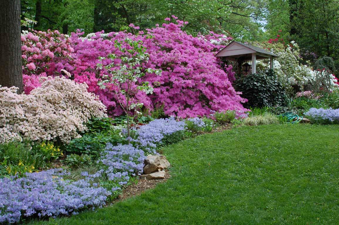 Рододендроны - утопите свой сад в роскоши