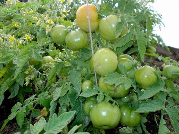 Как ускорить рост и развитие томатов в 3 раза?