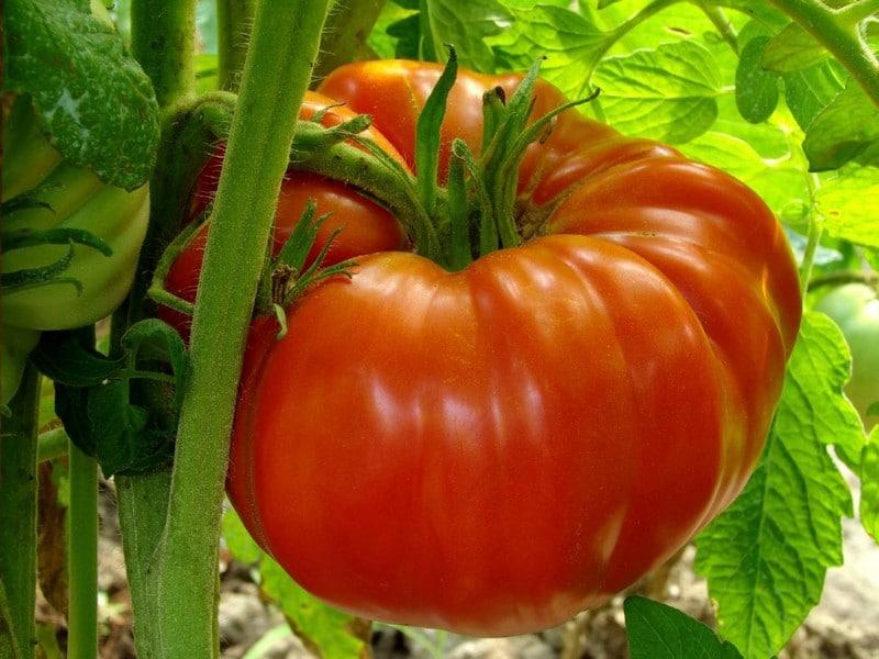 Вам ранний урожай или большой?