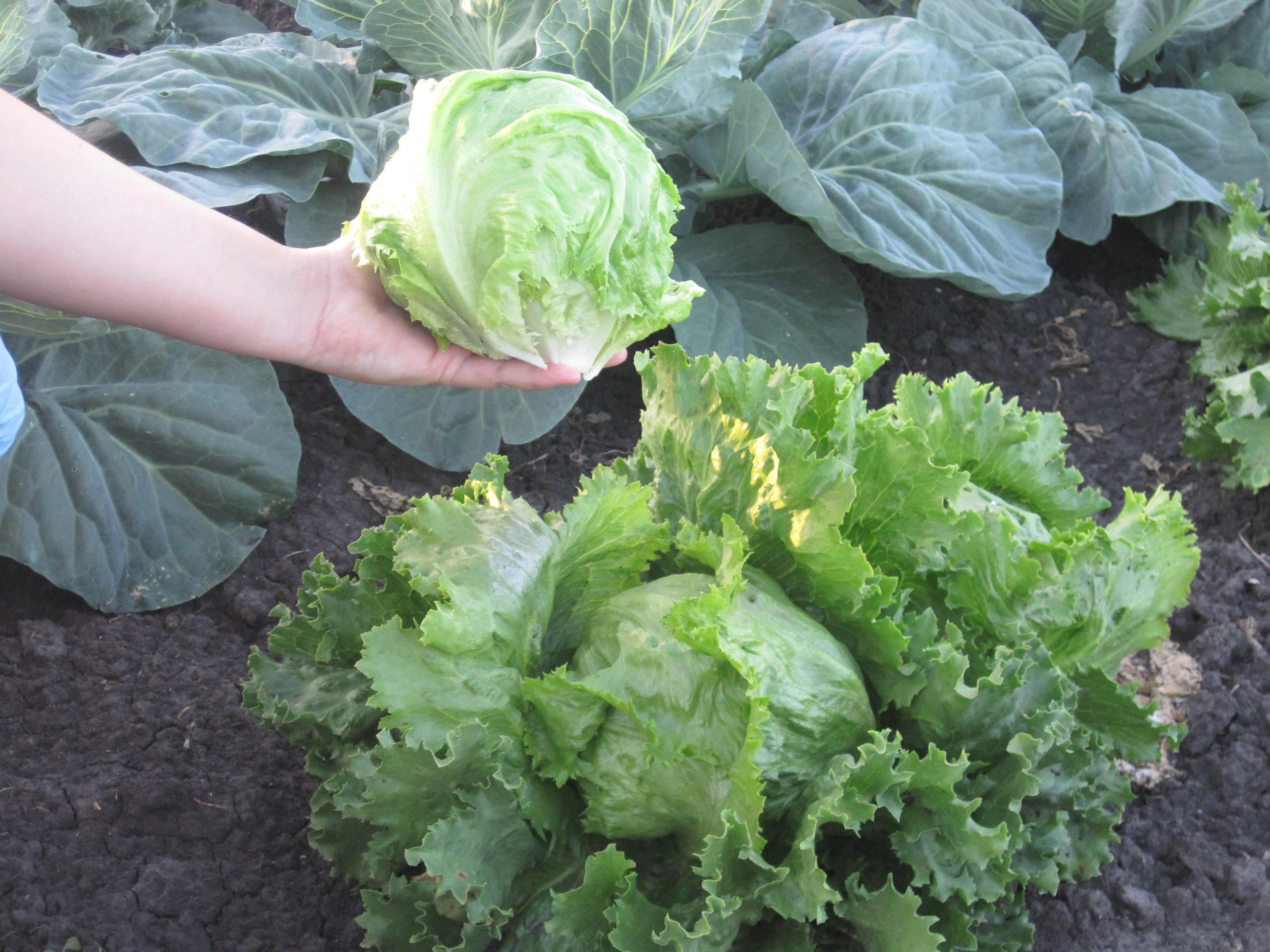 Особенности выращивания салата Айсберг