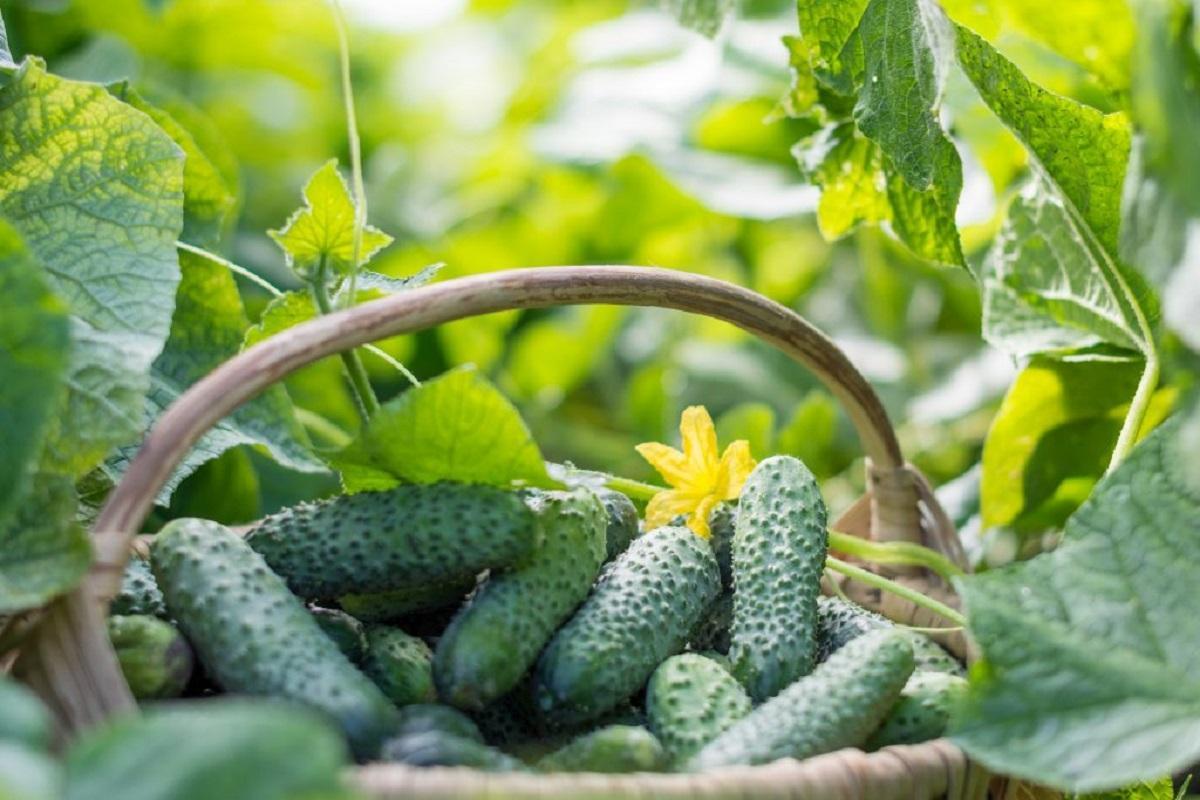 Как получить ранний урожай огурцов: избегаем главных ошибок