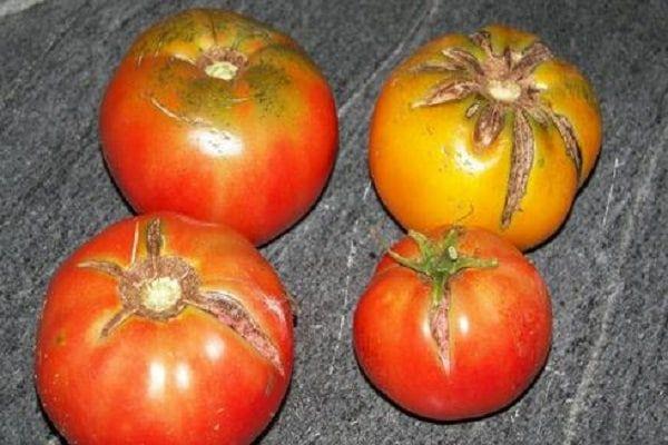 Почему плоды томатов треснули? И как с этим бороться?