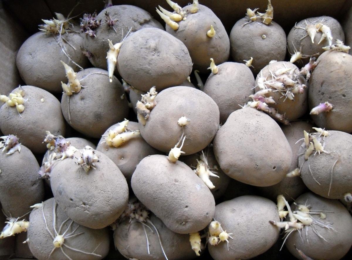 Быстрое размножение сортового картофеля