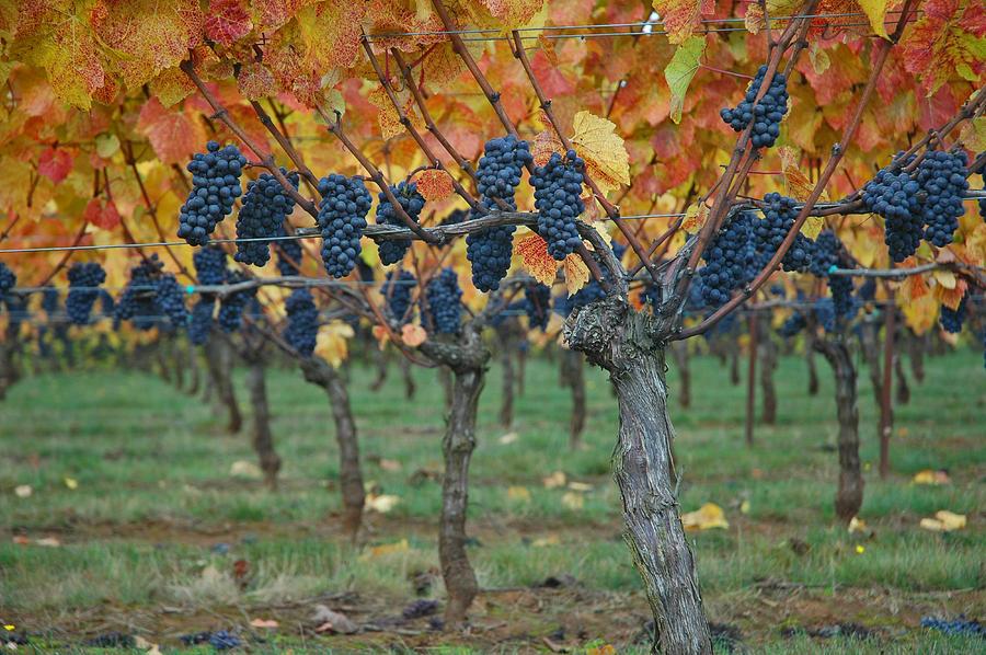 Веерная 4-х рукавная формировка винограда