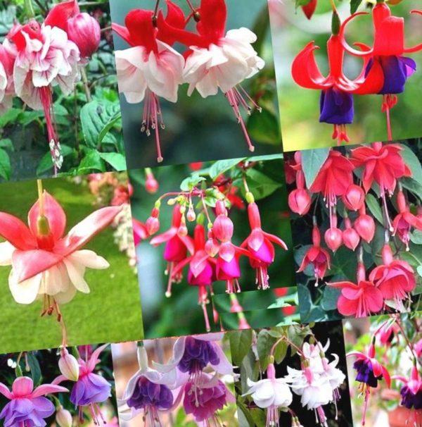 Люблю все цветы, но фуксии - особенно