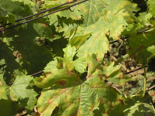 Заболел виноград, чем лечить?