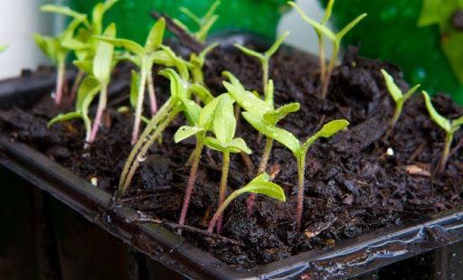 Как повысить всхожесть семян?