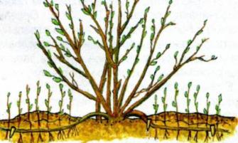 О размножении смородины вертикальными отводками