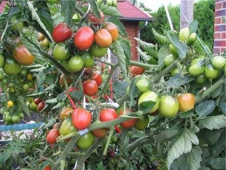 Секреты сращивания стеблей томатов