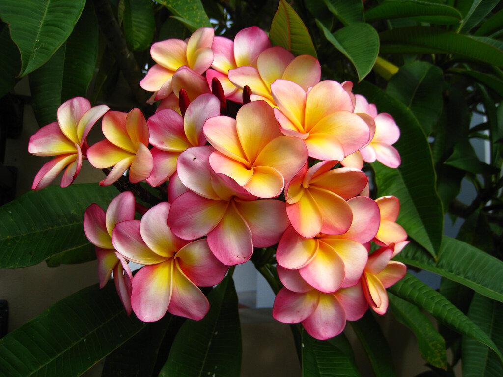 Плюмерия - душистая красавица