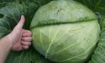 Как вырастить крупные кочаны капусты