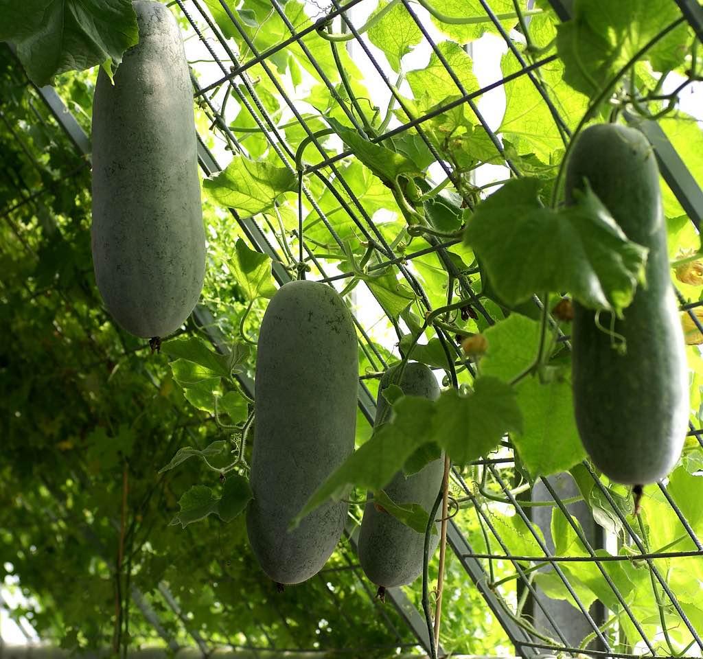 Бенинказа - это тоже тыквы