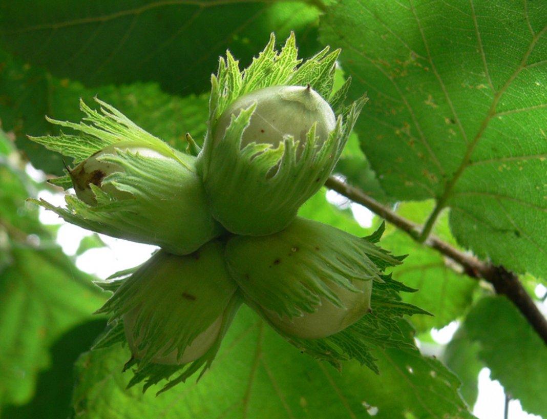 Лесной орех в саду