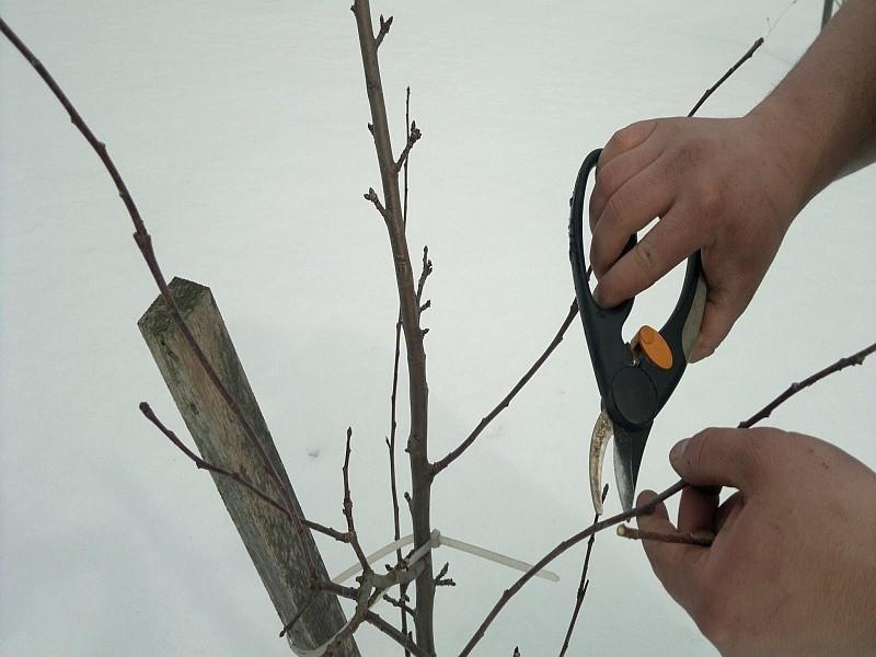 Обрезка подмерзших плодовых деревьев
