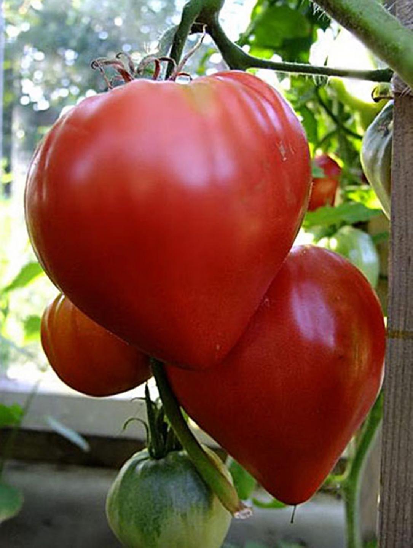 Любимые томаты Бычье сердце