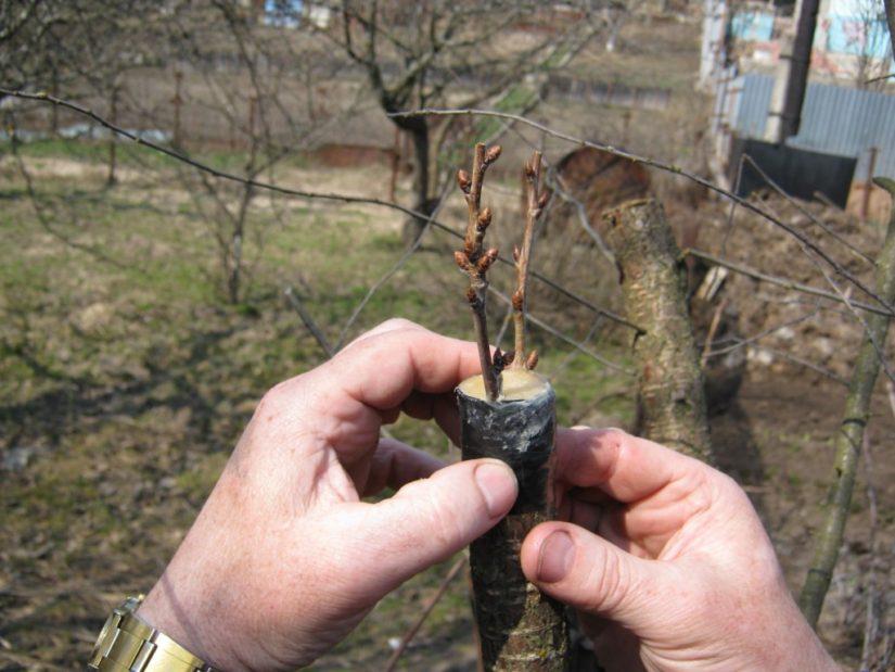 О совместимости привоя и подвоя у плодовых деревьев