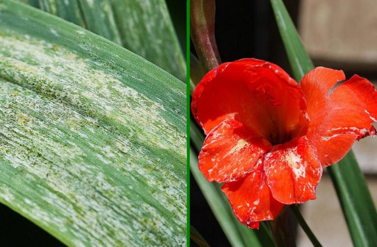 Как защитить гладиолусы от трипса?