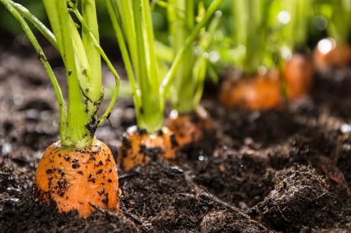 Все про выращивание моркови