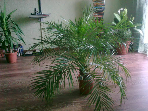 Какую пальму завести?