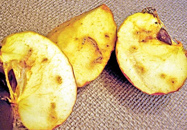 Яблоки точат личинки рябиновой моли: способы борьбы с вредителем